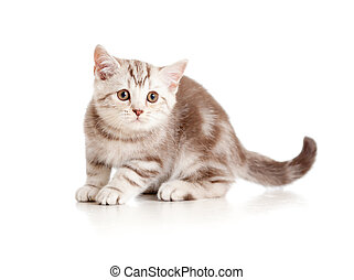 brincalhão, breed., kitten., britânico, marmor.