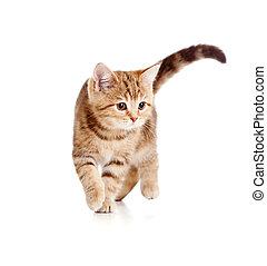 brincalhão, executando, gatinho