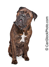 brindle Bullmastiff in front of a white background