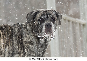 Brindle English Mastiff