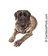 A beautiful big English Mastiff dog with a brindle coat laying down and looking forward with a serious expression