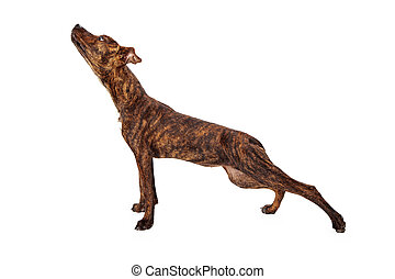 Profile of a brindle mixed breed dog stretching on white background.