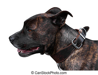 Brindle Pitbull Terrier isolated with clipping path