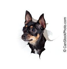 brinquedo, rasgado, cão, isolado, papel, buraco, terrier, lado