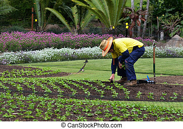 BRISBANE, AUS - SEP 24 2014:Gardner planting plants at Brisbane City Botanic Gardens. The Gardens include many rare and unusual botanic species of plants, flowers and trees.