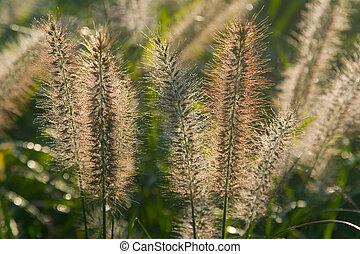 Bristle Grass II