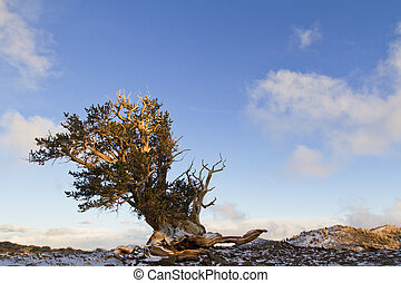 bristlecone pine forest and blue sky