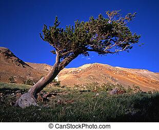 Bristlecone Pine Tree - A bristlecone pine tree in the ...