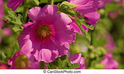 Bristly hollyhock pink flowers up close with people walking...