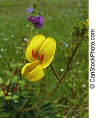 Bristly Smithia, Botanical name: Smithia setulosa, Family:...
