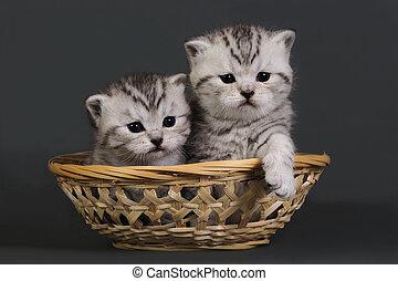 británico, dos, kittens., shorthair