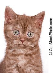 británico, gatito