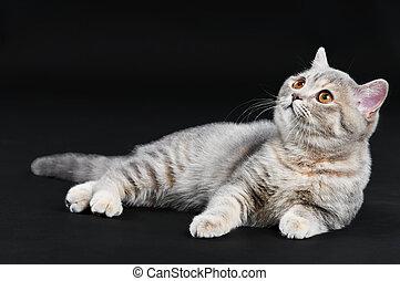 británico, gato, shorthair