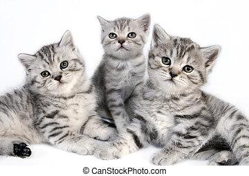 británico, kittens., shorthair