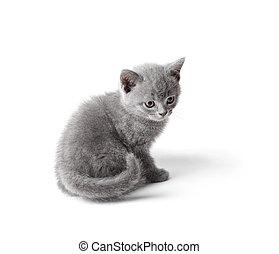 britânico, gatinho, isolado, branco