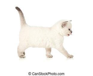 britânico, gatinho, vista lateral, isolado, branco
