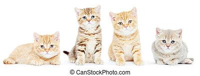 brit, shorthair, cica, macska