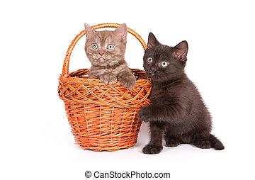 britannique, chaton