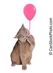 british, 앉아 있고 있는 고양이, 통하고 있는, 뒷다리, 보유, a, 핑크, balloon, 갈고리 모양으로 구부러진, 집게발, 로프, 와..., keeps.