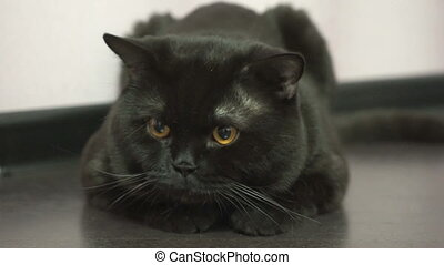 British black cat chasing a toy, driving her orange eyes...