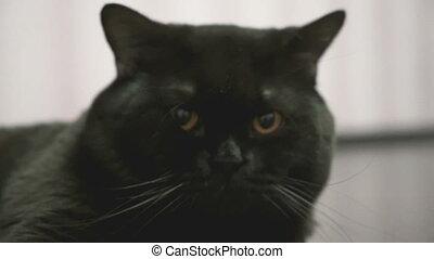 British black cat yawns closeup