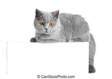 British blue cat easy lying on tablet