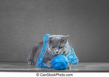 British Blue cat  playing with  ball of yarn