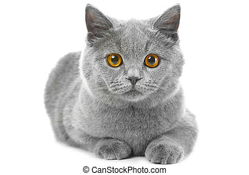 British blue kitten on isolated white