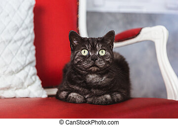 British breed cat smoky-gray colorlies on a red sofa