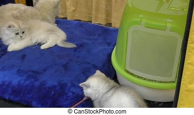 British breed kittens