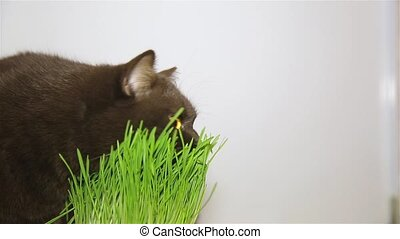 British breed of cat chocolate brown eats grass HD...