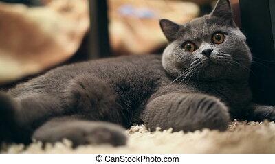 British cat - British %u0441at lying