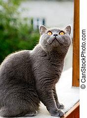 British Cat - grey british cat with orange eyes staring on...