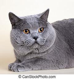 British cat head on yellow background