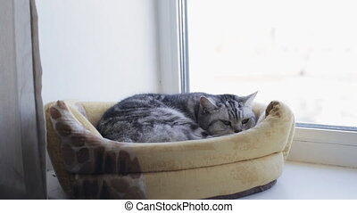 British cat is sleeping on a window in his house