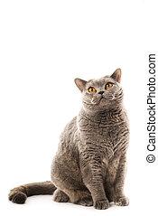 British cat isolated on white background