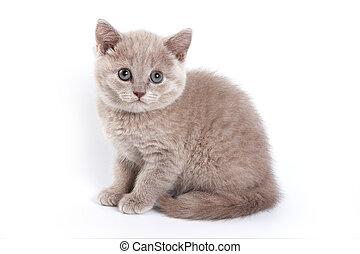 British cat kitten (isolated on white)