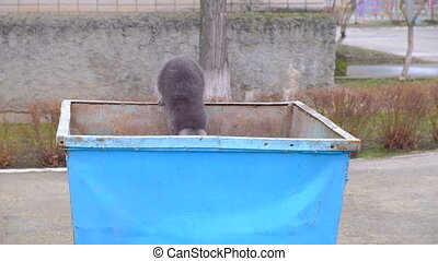 British cat on an iron garbage can. Searches for food