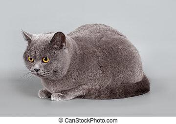 British cat on grey background