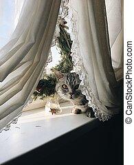 British cat on window