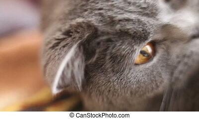 British cat's nose. Close-up