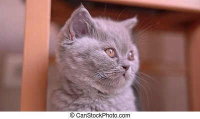 British fold kitten, ash color, poses for the camera, close-up. High quality 4k footage