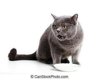 British gray cat isolated on white