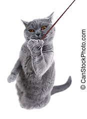 British gray cat playing with a thread