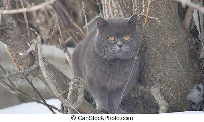 British gray cat sitting on a tree. a British gray cat...