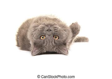 British longhair cat lying upside down - Grey british...
