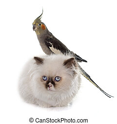 british longhair kitten and cockatiel in front of white background