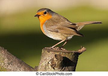 British robin redbreast close up on a log - British robin...