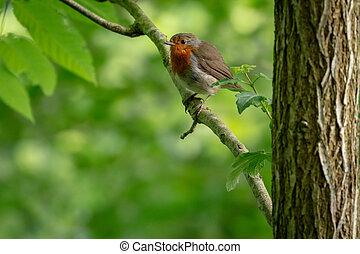 British robin redbreast (Erithacus rubecula)