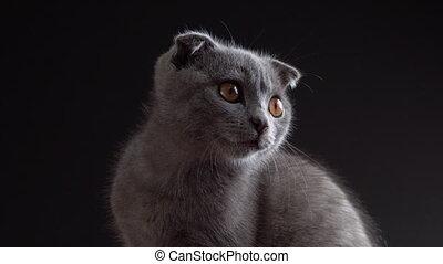British scottish fold cat close up portrait.